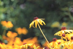 Die dominierende Blume Lizenzfreie Stockfotos