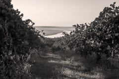 Die Donau und Reihen des Weinbergs bevor dem Ernten Stockfoto