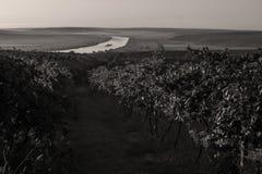 Die Donau und Reihen des Weinbergs bevor dem Ernten Stockfotografie