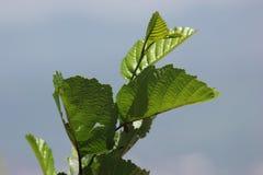 Die drei grünen Blätter lizenzfreie stockfotografie