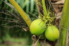 Die drei Kokosnüsse auf den Palmen Stockfoto