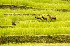 Die drei Ziegen gingen auf die goldenen terassenförmig angelegten Felder Hà Giang - Sapa Nordwest-Vietnam China, Indochina stockfotos