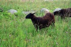 Die dunklen wolligen Schafe Stockbild