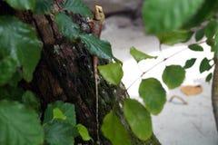 Die Eidechse auf dem Baum, Malediven Stockfotografie