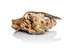 Die Eidechse auf dem Stein - Seitenansicht lokalisiert auf Weiß lizenzfreie stockfotografie