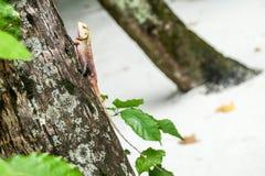 Die Eidechse klettert den Baum Stockfoto