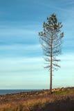Die einsame Kiefer überlebte nach dem stärksten Waldbrand Lizenzfreies Stockfoto