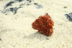 Die einsame Koralle lizenzfreies stockbild