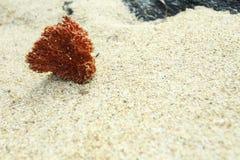 Die einsame Koralle Lizenzfreie Stockbilder