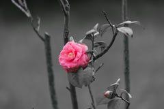 Die einsame und hervorragende rosafarbene Blume stockfoto