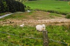 Die einsamen Schafe Lizenzfreie Stockbilder