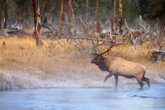 Die Elche, die auf Frost treten, deckten Fluss-Querneigung ab Lizenzfreie Stockfotografie