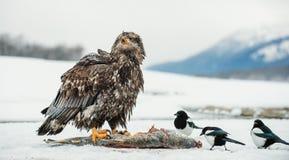Die Elster und der unreife Weißkopfseeadler Lizenzfreies Stockbild