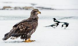 Die Elster und der unreife Weißkopfseeadler Lizenzfreies Stockfoto