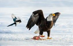 Die Elster und der Weißkopfseeadler Stockfotos