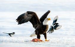 Die Elster und der Weißkopfseeadler Lizenzfreie Stockfotos