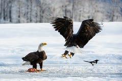Die Elster und die Weißkopfseeadler Stockfotografie