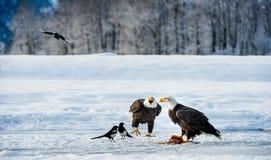 Die Elster und die Weißkopfseeadler Lizenzfreie Stockfotografie