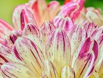 Die empfindliche lichtdurchlässige weiße Blume verlässt von einer Dahlie stockbild