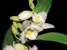 Die empfindliche Schönheit von Orchideen Stockfotos