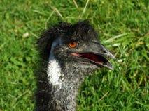 Die Emu Dromaius novaehollandiae oder das Der-Emu, Abenteurland Walter Zoo lizenzfreies stockfoto