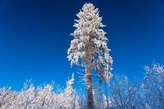 Die enorme Kiefer unter dem Schnee am sonnigen Wintertag auf dem Wald und dem blauen Himmel Stockbild