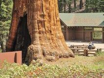 Die enormen Mammutbaumbäume, die mit einem Hausmann verglichen werden, ist nicht erkennbar stockbilder