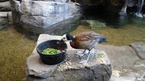 Die Ente Stockbild