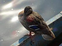Die Ente Stockbilder