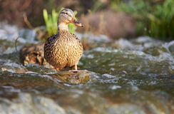 Die Ente badet in einem Teich Lizenzfreies Stockbild