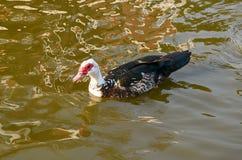 Die Ente, die auf das Wasser schwimmt Lizenzfreie Stockfotografie