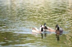 Die Ente, die auf das Wasser schwimmt Stockbild