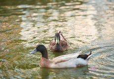 Die Ente, die auf das Wasser schwimmt Lizenzfreies Stockbild