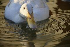 Die Ente, die ein Getränk vom Pool nimmt stockfotografie