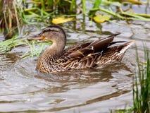 Die Ente schwimmt auf Masse Stockbild