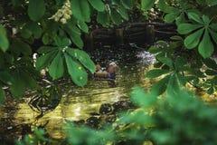 Die Ente schwimmt in den Fluss zwischen die Blätter lizenzfreies stockfoto
