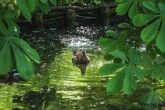 Die Ente schwimmt in den Fluss zwischen die Blätter stockfotos
