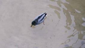 Die Ente taucht in Wasser stock video