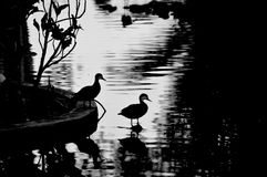 Die Enten Stockbild