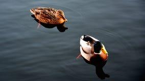 Die Enten Stockbilder
