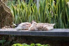 Die Enten, die auf Felsenplatte schlafen, gehen verstaut unter Flügel voran Stockbild
