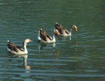 Die Enten erneuern sich auf einem Fluss stockfotos