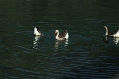 Die Enten erneuern sich auf einem Fluss lizenzfreie stockbilder