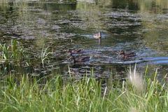 Die Enten im Teich Stockbild