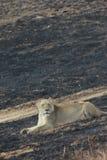 Die entspannende Löwin Lizenzfreies Stockbild