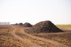 Die Ernte der Zuckerrübe wird auf dem Feld angehäuft Thema ist landwirtschaftlich und ländlich An einem sonnigen Tag ist Herbst e stockbilder