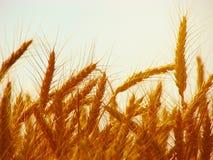 Die Ernte reift lizenzfreies stockfoto