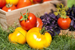 Die Ernte von roten und gelben Tomaten Lizenzfreies Stockbild