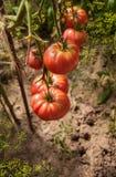 Die Ernte von Tomaten Stockbild