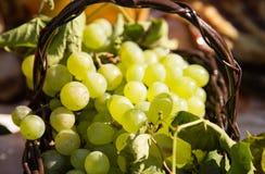 Die Ernte von Trauben in einem Korb in der Natur Stockfoto